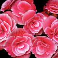 Pink Begonias by Dave Mills