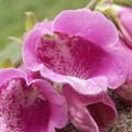 Pink Bells by Alexis Ketner