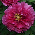 Pink Bloom Peony Tree by Holly Eads