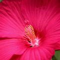 Pink Bloomers by Paul Anderson