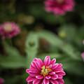 Pink Blossom by Amanda Bhakat