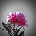Pink Blossom by Douglas Barnard