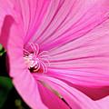 Pink Blossom by Thomas R Fletcher