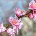 Pink Blossoms by Joan Baker