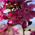 Pink Blossoms by Wendy Fox
