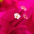 Pink Bougainvillaea by Tomas del Amo - Printscapes