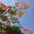 Pink Bougainvillea by Aimee L Maher ALM GALLERY