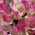 Pink Bougainvillea by Carol Groenen