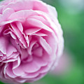 Pink Bourbon Rose Louise Odier by Frank Tschakert