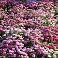 Pink Button Pom Flowers by Carol Groenen