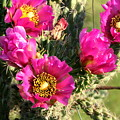 Pink Cactus Blooms Close-up by Sheila Brown