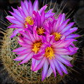 Pink Cactus Flowers Square  by Saija Lehtonen