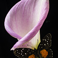 Pink Calla Lily With Butterfly by Garry Gay