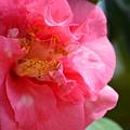 Pink Camelia Closeup by Maria Urso