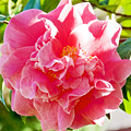 Pink Camellia At Pilgrim Place In Claremont-california  by Ruth Hager