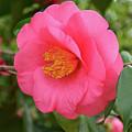 Pink Camellia Flower by Isabela and Skender Cocoli