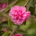 Pink Camellia 2 by Marta Robin Gaughen