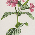 Pink Campion by Frederick Edward Hulme