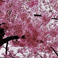 Pink Canopy by Patti Whitten