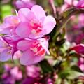Pink Cardinal Bush Flowers by Cynthia Woods