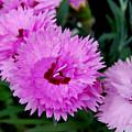 Pink Carnation Cluster by Nancy Trevorrow