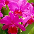 Pink Cattleya Orchids by Allan Seiden - Printscapes