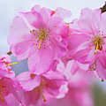 Pink Cherry Blossom Cluster by Regina Geoghan