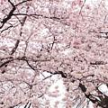 Pink Cherry Blossom Tree by Ariane Moshayedi