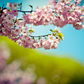 Pink Cherry Blossoms Against Clear Blue by Raimond Klavins
