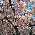 Pink Cherry Blossoms by Emmy Vickers