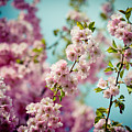 Pink Cherry Blossoms Sakura Clear Blue Sky  by Raimond Klavins