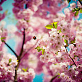 Pink Cherry Blossoms Sakura With Bee by Raimond Klavins