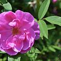 Pink Chestnut Rose by Eva Thomas