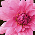 Pink by Christine Belt