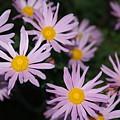 Pink Clara Curtis Daisy Chrysanthemum by Holly Eads