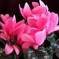 Pink Cyclamen 2  by Lynne Miller