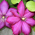 Pink Clematis Climber by Laura Brightwood