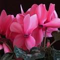 Pink Cyclamen  by Lynne Miller