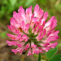 Pink Clover Flower by Melissa Parks
