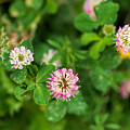 Pink Clover Flowers by Les Palenik