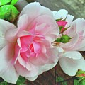 Pink Cluster Of Roses by Janette Boyd