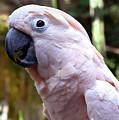 Pink Cockatoo by Haleh Mahbod