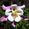 Pink Columbine by Marilyn Hunt