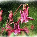 Pink Columbines by Smilin Eyes  Treasures