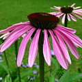 Pink Cone Flowers by Donna Brown