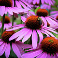 Pink Coneflowers by Jeanette Wygant