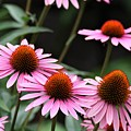 Pink Coneflowers by Patti Whitten
