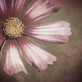 Pink Cosmos Painting by Jim And Emily Bush