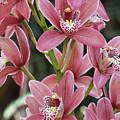 Pink Cymbidium Orchid #3 by Judy Whitton