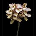 Pink Cymbidium Orchid by Darleen Stry